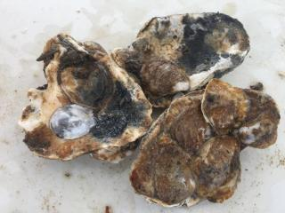 Image of Oysters